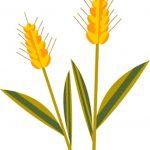 輸入小麦から国産小麦へと自給率が増えている理由とは?